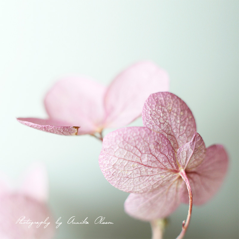 hydrangea_soft_pastel_colors_by_annika_olsson