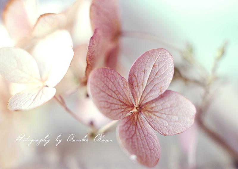 hydrangea_soft_pastel_colors_by_annika_olsson03